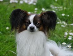 The Papillon is a extremely intelligent and self-assured dog that has an extremely easy time studying new tricks.The Papillon is one of the oldest breeds of dog, with a recorded history in Europe going back practically 700 years