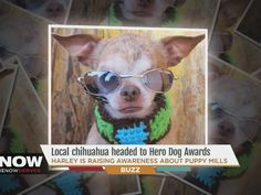 Harley, a pint-sized Chihuahua who was rescued from a puppy mill four years ago is in the running to become the next American Humane Association Hero Dog.