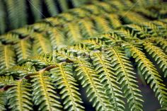 A close up of a native New Zealand Punga Fern frond in differential. What Image, Image Now, Images Of Peace, Maori Words, Floral Backgrounds, Abel Tasman, Fern Frond, Kiwiana, Twitter Headers