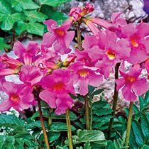 Flowering Fern--- Plant that thrives in my zone: 9b, Napa, CA