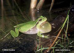 Rosnička zelená (Hyla arborea) - s rezonančním měchýřkem, který zesiluje zvuky.