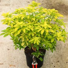 Oranger du Mexique doré - Choisya ternata sundance Shrubs, Landscape, Flowers, Gardening, Google, Gardens, Outdoor Seating, Balconies, Terraces
