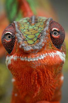 """""""Fabulous shot of a crested gecko"""". this is a chameleon not a crested gecko. Nature Animals, Animals And Pets, Funny Animals, Cute Animals, Funny Birds, Wildlife Nature, Wild Animals, Les Reptiles, Reptiles And Amphibians"""