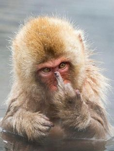Animal pictures of the week: 8 April 2016 08 April 2016 - A Cheeky Japanese Macaque seen at Jigokudani Snow Monkey Park in Japan. Funny Animal Memes, Cute Funny Animals, Funny Monkeys, Funny Humor, Funny Monkey Pictures, Animals And Pets, Baby Animals, Snow Monkey Park, Japanese Macaque