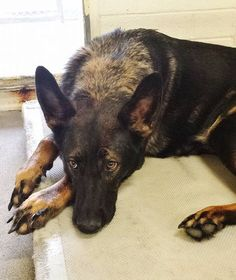 SAFE --- Sweet HEIDI is pretty amazing, she is big and beautiful but she is not happy in the kennel. Please take a look at her Video and SHARE, she needs some help. Thanks!  #A4780550 My name is Heidi and I'm an approximately 3 years, 6 month old female germ shepherd.  https://www.facebook.com/171850219654287/photos/pb.171850219654287.-2207520000.1417559806./339493269556647/?type=3&theater