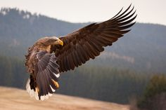 white tailed eagle (Photo by robert adamac)