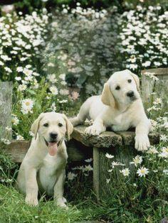 Cute lab puppies in the backyard garden