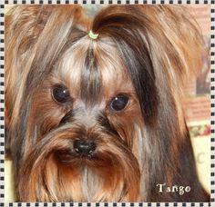 http://www.chocolatebarkkennel.com/#!tango/cjr7