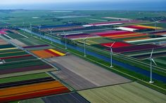 Blossoming Tulip Fields