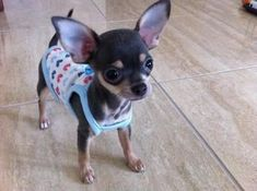 Effective Potty Training Chihuahua Consistency Is Key Ideas. Brilliant Potty Training Chihuahua Consistency Is Key Ideas. Baby Chihuahua, Teacup Chihuahua, Little Dogs, Cute Puppies, Cute Dogs, Baby Animals, Cute Animals, I Love Dogs, Fur Babies