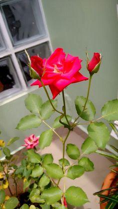Flor jardim rosa