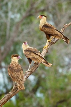 Crested Caracara.  Caracara is a genus of birds of prey in the family Falconidae found throughout a large part of the Americas