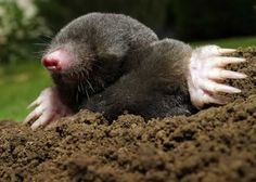 Complete guide for dealing with moles in your garden, lawn or yard. Learn how to get rid of moles and what methods are effective and what aren't!