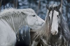 — Flora and indra. #horse #braid #winter #snow #white #grey #blue