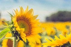 Stand Out From the Crowd, Sunflower Print, Fine Art Photography by Pitts Photography
