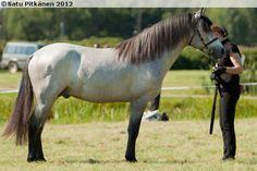Connemara - stallion Goldrock Laddie