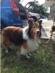 Tucker is an adoptable Shetland Sheepdog Sheltie Dog in Palm Bay, FL. APPLICATION IS REQUIRED PLEASE GO TO OUR WEB SITE WWW.MIDFLSHELTIERESCUE.COM For safety reasons, an Adoption Application must be f...