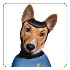 Mr. Spock's dog. Two things I enjoy together, Star Trek and basenjis.