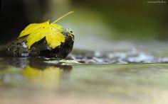Mokry, Kamień, Żółty, Liść