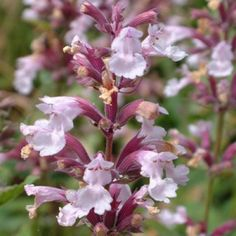 Nepeta grandiflora 'Dawn to Dusk' - A beautiful strong growing catmint with sprays of soft pink flowers set off by sea- green foliage. Lovely when grown beneath old roses. Loved by butterflies. 2ft
