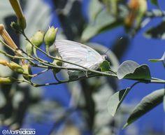 """""""Nunca he visto una mariposa que vuele llevando carga en la espalda o colgándose la carga como un helicóptero. La mariposa tiene tan sólo un cuerpo liviano. El cuerpo es toda su fortuna. No tiene pertenencias. Ligera, sin poseer nada, anda volando. Las flores son sus tabernas. Las hojas son moradas que las protejen de las lluvias. Su vida es una danza que se despliega en lo alto. La culminación de la danza es su muerte. Al morir envejecida no tiene nada que desear. No tiene nada que desear y…"""