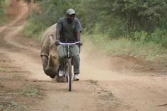 """Would you take a Rhino for a walk?  ''This is how we rehabilitate hand raised rhinos by taking them for long """"spins"""" in the reserve.''https://www.facebook.com/photo.php?fbid=10151097718246374=a.82041506373.82880.68698461373=1"""