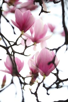 saucer magnolia photo: philip blankenship