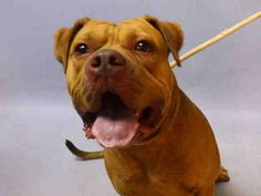 ***URGENT!  10/17/16 BEAUTIFUL BEEFY BOY LOOKING FOR SAFE, LOVING FAMILY!  Brooklyn Center KING CHEETO aka KING – A1093270 MALE, BROWN, AM PIT BULL TER MIX, 3 yrs OWNER SUR – EVALUATE, NO HOLD Reason LLORDPRIVA Intake condition EXAM REQ Intake Date 10/12/2016, From NY 11373, DueOut Date 10/12/2016