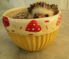 At the same time, they also prefer to munch small animals and plants. So, as you know what do hedgehogs eat, you will be able to provide them a well-balanced diet