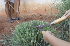 Lemongrass Pruning: How To Cut Back Lemongrass Plants -  Lemongrass is fast growing and can get a little unruly if not pruned back regularly. Use the information in the following article to learn more about how to cut back lemongrass. Click here for more lemongrass pruning info.