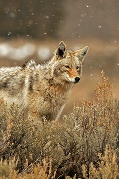 ternpest Deactivated (via / Coyote by Milko Marchetti) Source: ternpest Predator Hunting, Coyote Hunting, Pheasant Hunting, Archery Hunting, Beautiful Creatures, Animals Beautiful, Cute Animals, Wild Animals, Coyote Animal
