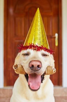 Buy Dog birthday party by Chalabala on PhotoDune. Cute labrador retriever is wearing party hat Happy Animals, Cute Animals, Happy Birthday Dog, Happy Birthday Labrador, Funny Birthday, Dog Ages, Puppy Party, Dog Years, Smiling Dogs