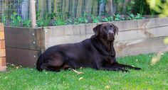 Jess the Labrador in a rare moment of peace.  This shot was taken a week or two after she had used the veggie garden behind her as a large buffet of chicken manure after it had been fertilised.  But her coat is looking pretty shiny so maybe she knows something about the effect of eating a couple of kilos of manure that the rest of us don't.