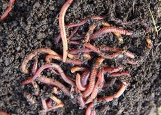 The very first time I heard about worm composting I was intrigued. The idea that you can feed food scraps to a bunch of worms and they'd turn it into rich nutritious compost for your garden…And you don't need a ton of space to do it…And, you can even do i Compost Soil, Garden Compost, Worm Composting, Gardenias, Worm Beds, Faire Son Compost, Fruit Trees In Containers, Growing Broccoli, Worm Castings