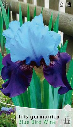 IRIS GERMANICA BLUE BIRD WINE