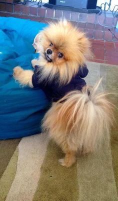 playful pomeranian pics dog