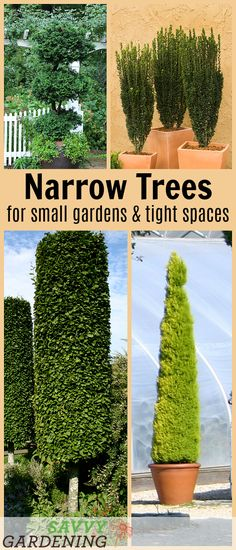 10 Beautiful Narrow Trees for Small Gardens and Tight Spaces – Rooftop Garden Small Trees For Garden, Trees For Front Yard, Narrow Garden, Small Garden Design, Small Landscape Trees, Plants For Small Gardens, Front Gardens, Rooftop Gardens, Backyard Trees