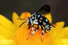 Checkered cuckoo bee | Katarina Christenson | Flickr