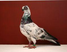 Budapest Short Face Tumbler Pigeon | Dark Beak Grizzle