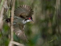 Red Whiskered Bulbul (Pycnonotus jocosus) taking flight | Flickr ...