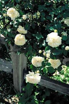 """Tea Rose - Sombreuil, 1850. Adore those big, fat blooms, thorns or not (I still proudly bear scars from shaping my beloved """"Peace"""" rose...)!"""