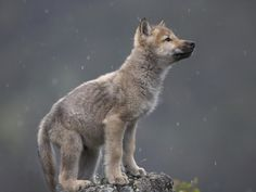 Gray wolf pup (Canis lupus) in North America by Tim Fitzharris