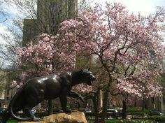 Pitt campus in spring