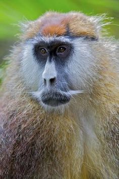 Photographic Print: Male Patas Monkey - Wadi Monkey - Hussar Monkey (Erythrocebus Patas) Laikipia Game Reserve by Mark Macewen : 24x16in Funny Animal Faces, Funny Animals, New World Monkey, Game Reserve, Primates, Monkeys, Old World, Find Art, Framed Artwork