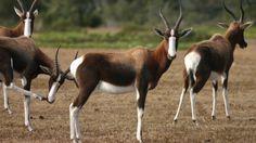 Damaliscus pygargus - Bontebok -- Sighted: Cape of Good Hope National Park, ZA