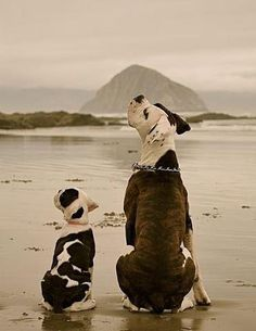 Pit Bulls on the Beach - Dogster - FB