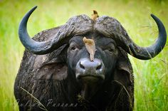 .Buffalo one of the most dangerous animals in Africa