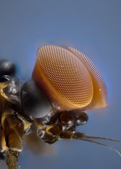 """Laurie Knight, Turbinate eyes of male mayfly"" - Animals Beautiful Bugs, Amazing Nature, Naturally Beautiful, Nikon Small World, Micro Photography, Levitation Photography, Exposure Photography, Water Photography, Abstract Photography"