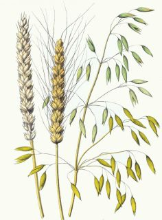 Colored drawing of oat and two types of wheat. A collection of free downloadable public domain images for crafters and web designers that have been rescued from old books, magazines, and other print materials. All of the images in this collection are copyright free in the United States and any country that extends copyrights up to 70 years after the death of the original artist making them in the public domain and free to use in your next scrapbook page, notecard or other craft projects.