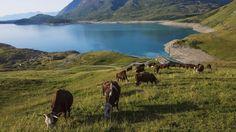 Quelques vaches Tarines paissent autour du lac du Mont-Cenis, lac artificiel retenu par un barrage, situé à 1974 m daltitude.